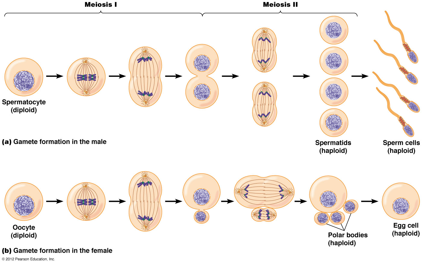 http://physiologizing.blogspot.com/2013/01/can-you-hear-your-biological-clock.html