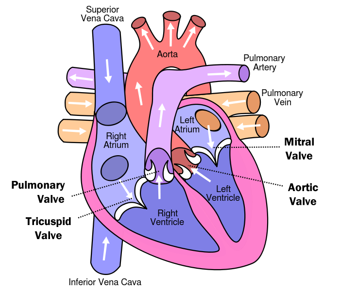 http://www.ucdenver.edu/academics/colleges/medicalschool/departments/surgery/divisions/CardiothoracicSurgery/Types-of-Surgery/PublishingImages/heart-valves-large.png